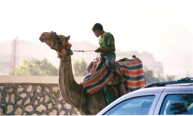 Camels at Giza
